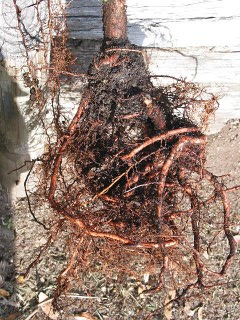 Root Girdling